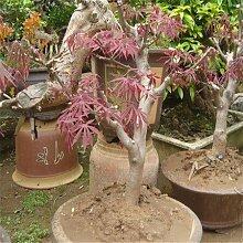 Mehrfarbig: Frühlings-Bonsai-Ahorn-Samen 50Pcs