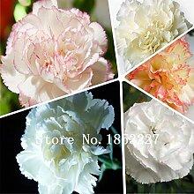Mehrfarbig: Nelkensamen, Dianthus Caryophyllus,