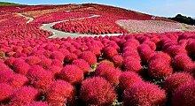 MeiGuiSha Garten - Exotic Sommerzypresse Saatgut