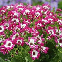 MEIGUISHA Gartensamen-Gänseblümchen saatgut