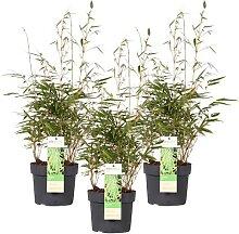 Mein schöner Garten Bambus Fargesia Rufa Mittel