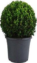 Mein schöner Garten Buchsbaum-Kugel – 1er-Set -