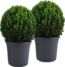 Mein schöner Garten Buchsbaum-Kugel – 2er-Set -
