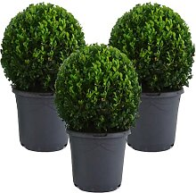 Mein schöner Garten Buchsbaum-Kugel – 3er-Set -