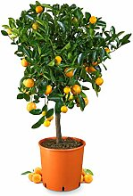Meine Orangerie Calamondin Mezzo - veredelte