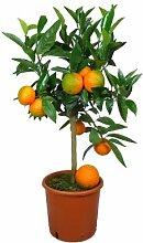 Meine Orangerie Clementinenbaum Mezzo