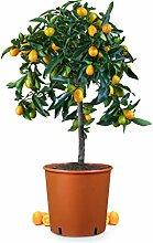 Meine Orangerie Kumquat Mezzo - echte