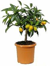 Meine Orangerie Kumquat Piccolo - echte