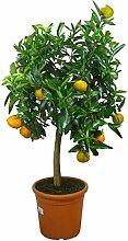 Meine Orangerie Mandarinenbaum Mezzo - echte