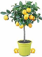 Meine Orangerie Meyer-Zitrone - echte