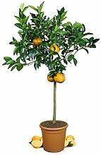 Meine Orangerie Orangenbaum Grande - echte Orange