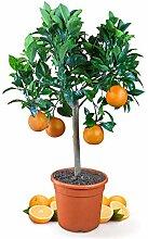 Meine Orangerie Orangenbaum Mezzo - echte Orange -