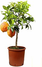 Meine Orangerie - Rote Zitrone Mezzo -