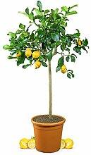 Meine Orangerie Zitronenbaum Grande - echter