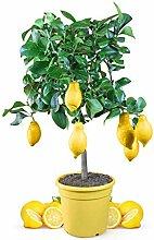 Meine Orangerie Zitronenbaum Mezzo - echter