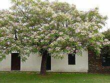 Melia azedarach, WHITE Zedernholz