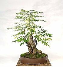 Melia bonsai tree (19)