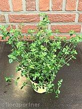 Menthol Strauch Prosthanthera rotundifolia Kräuter Pflanze 4stk.