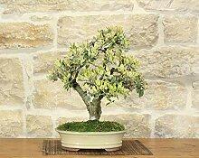 Metrosideros bonsai tree (2)