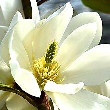 Michelia hybride FAIRY MAGNOLIA CREAM |