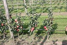 Mini-Apfelbäumchen Maloni® Sally® - 1jähriges
