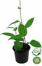 Mini Kiwi 2 Pflanzen im Set (Actinidia arguta), 1 Pflanze Männlich + 1 Pflanze Weiblich
