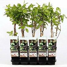 Mini-Kiwi Issai 70 cm - Actinidia arguta Kiwiberry
