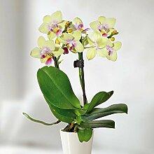 Mini Phalaenopsis Orchidee gelb - 1 pflanze