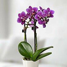 Mini Phalaenopsis Orchidee lila - 1 pflanze