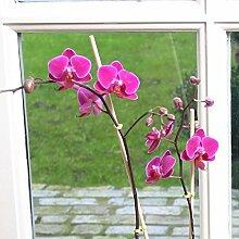 Mini Phalaenopsis Orchidee rosa-violett - 1 pflanze