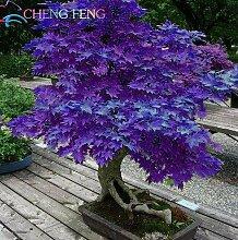 Mini Schöne japanische lila Maple Bonsai Samen, DIY Pflanze Bonsai Strauch Baumsamen, frische Ahornsamen 50pcs