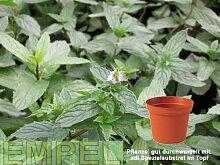 Minze, Pfeffer, grün Kräuter Pflanze 12er Topf