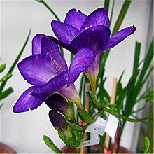 Mischen Sie 100 Samen Freesias Samen, wunderschöne DIY Hausgarten bunt & duftende Blume Pflanze Schnittblume, Hof, Balkon Dekoration