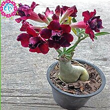 Mischfarben-100% reale Desert Rose Seeds Topf
