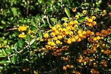 Mittelmeer Feuerdorn Pyracantha coccinea 400 Samen