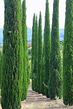 Mittelmeer Zypresse Cupressus sempervirens