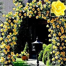 Mix Kletterpflanze Polyantha Rose sät DIY Hausgarten Hof Pot Blume 100 Samen / pack Polyantha Rose A9