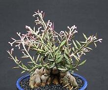 Monadenium rubellum caudex Bonsai Kaktus Samen 10