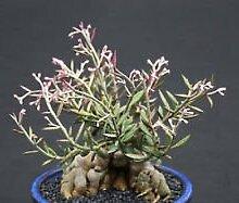 Monadenium rubellum, exotische caduciform Knolle