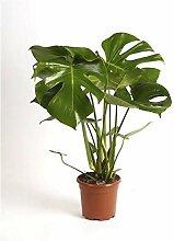 Monstera delicosa 60-70 cm Köstliche Fensterblatt