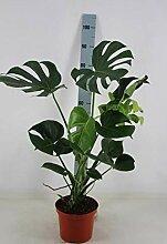 Monstera delicosa 80-90 cm Köstliche Fensterblatt