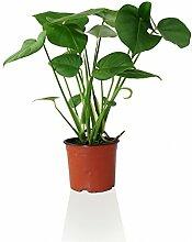 Monstera delicosa - Fensterblatt Indoor Pflanze im
