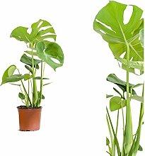 Monstera delicosa,Köstliche Fensterblatt,60cm +/-