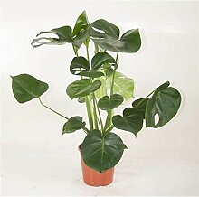 Monstera delicosa, Köstliches Fensterblatt,70cm