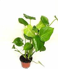 Monstera - Fensterblatt 50 cm +/- Zimmerpflanzen