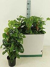 Monstera obliqua Monkey Leaf 80-100 cm - MONSTERA
