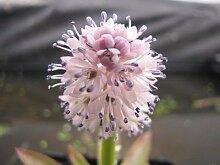 Moornelke - Teichpflanzen Teichpflanze