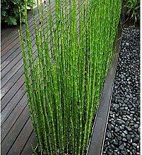 Moso Bambus-Samen, 60 Stück, frische