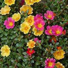 Moss Rose 250Samen Portulak Portulakröschen