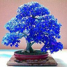 Mpale Baumsamen 30 PC/Satz Maple Samen Bonsai Blau